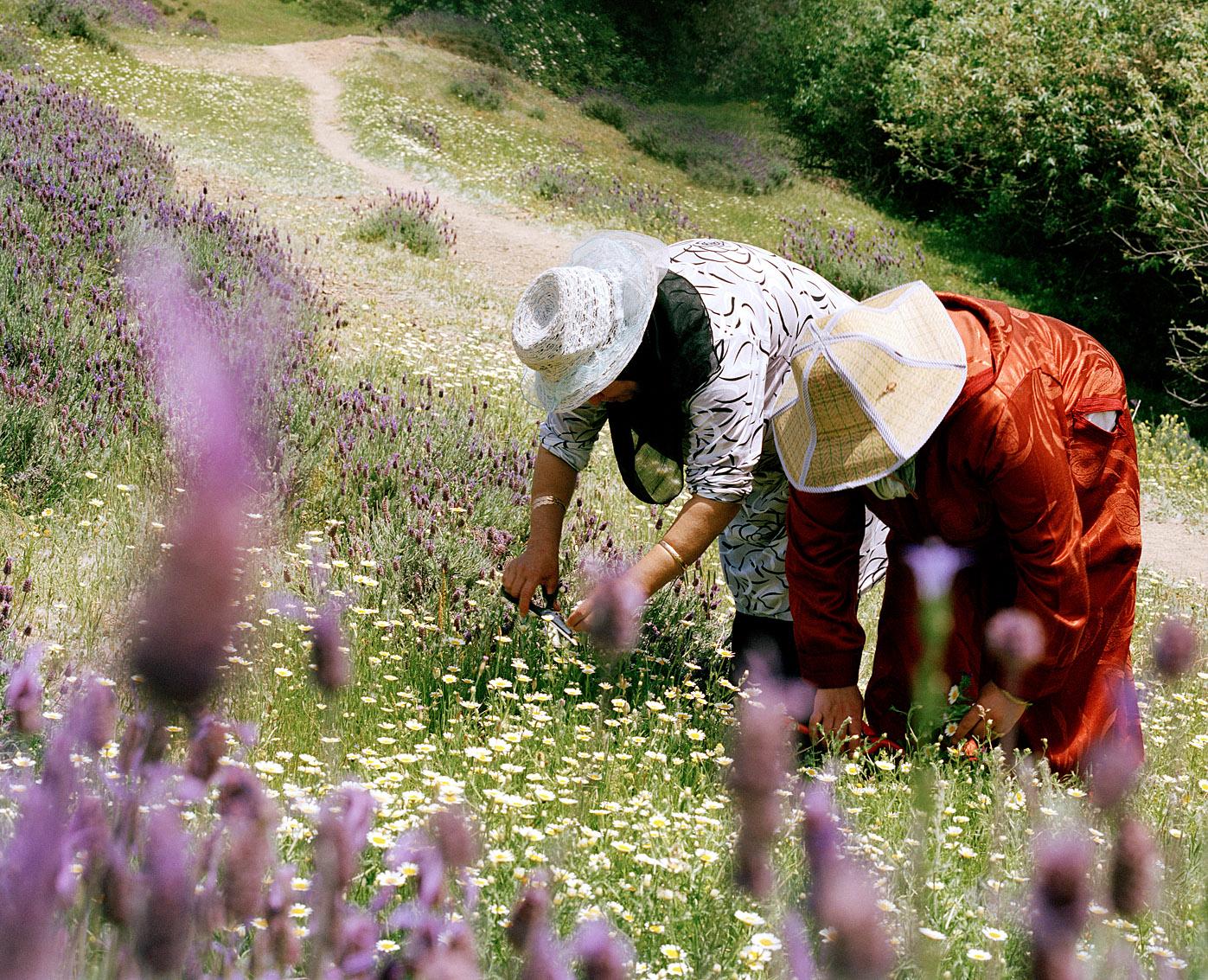 Récolte de camomille et de lavande, coopérative de femmes Achifae (guérison en Berbère), Maroc.