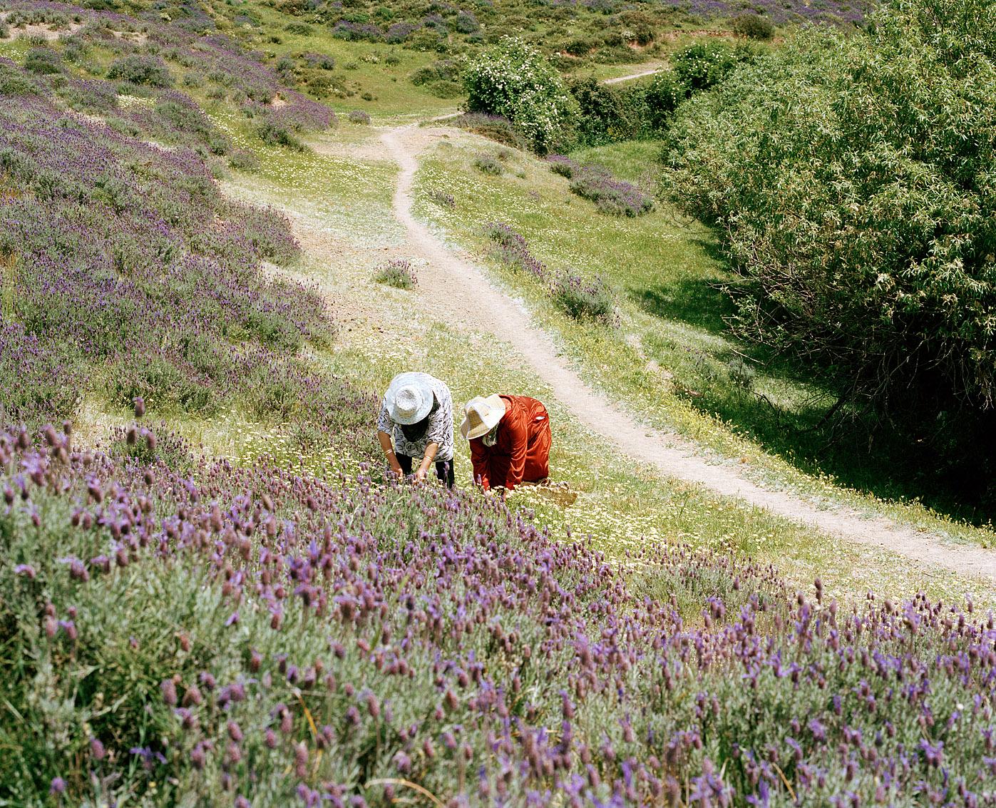 Récolte de camomille et de lavande, coopérative de femmes Achifae (guérison en Berbère) du village de Ben Smim, Maroc.