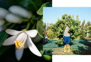 Cueillette de la fleur d'oranger sur une plantation de bigaradiers de la région de Nabeul.