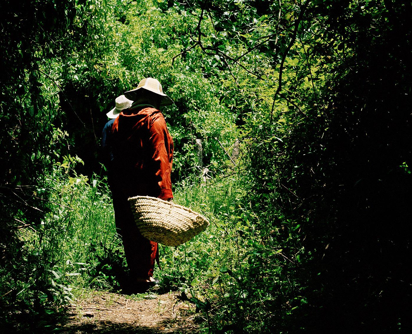 Sur le chemin de la récolte, coopérative de femmes Achifae (guérison en Berbère) du village de Ben Smim, Maroc.